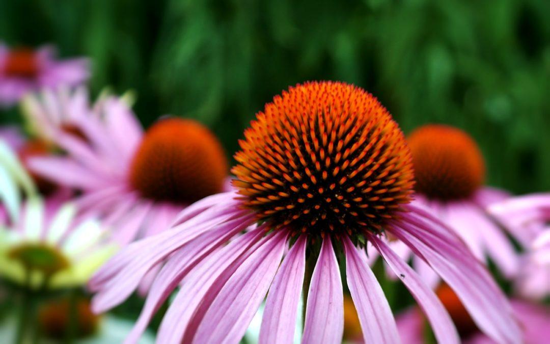 Echinacea and Immunity
